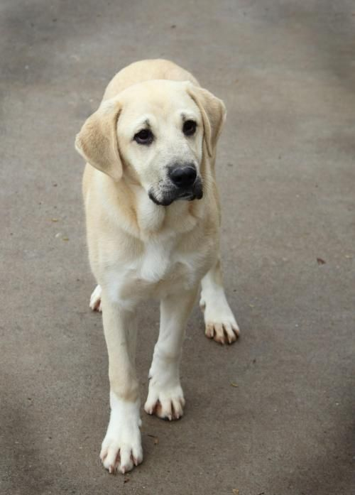 Anatolian Shepherd Mix Puppies For Sale In DE MD NY NJ ...