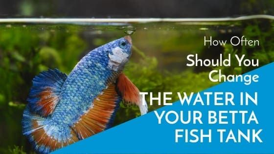 How Often Should You Change The Water In Your Betta Fish Tank Fish Tank World Betta Fish Tank Betta Fish Betta