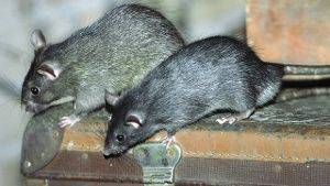 Ratten im Haus wird man nur schwer wieder los. Oft hilft nur noch der Fachmann. (Quelle: imago/blickwinkel)