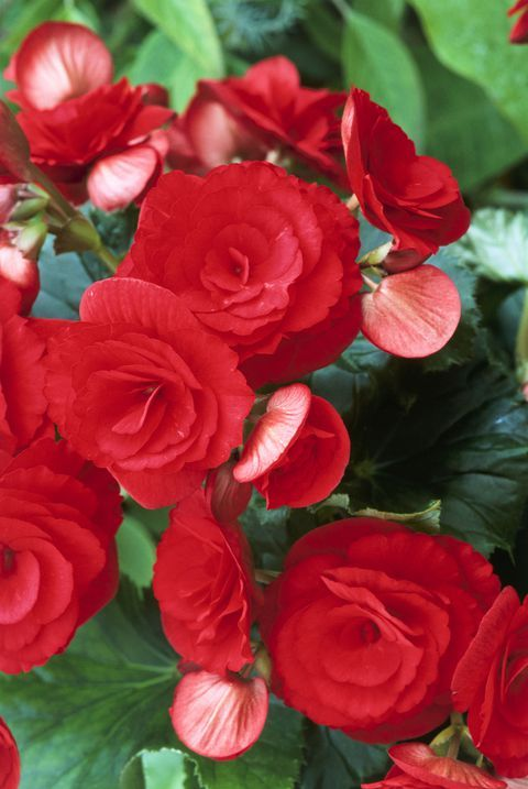 Landscapers Love Begnoias Because They Re So Low Maintenance We Love That Rich Red Color Flowers Ins White Flowers Garden Types Of Flowers Amazing Flowers