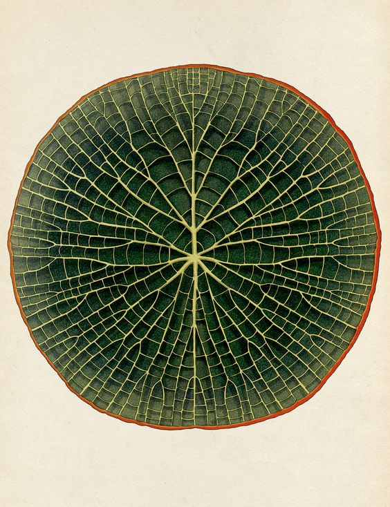 Katie Scott Giant Waterlily From Botanicum Publishing