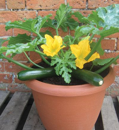 Squash Zucchini Planting Growing Harvesting Guide How To Container Gardening Jade Patio