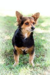 DARLING is an #adoptable Dachshund Dog in #Chandler #ARIZONA with Underdog Rescue of Arizona