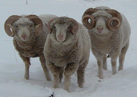 Willowbrook Park: Dorset Horn Sheep...