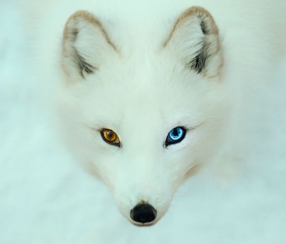 Arctic Fox Foxes And Search On Pinterest
