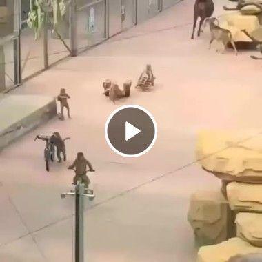 Fuga dos macacos em zoológico.
