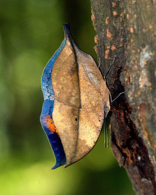 - kallima - #mariposa vistosa por una cara; por la otra luce como una hoja