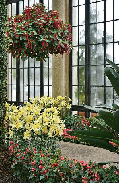 Acalypha hispida, Kohleria 'Longwood', Lilium 'Belladonna'