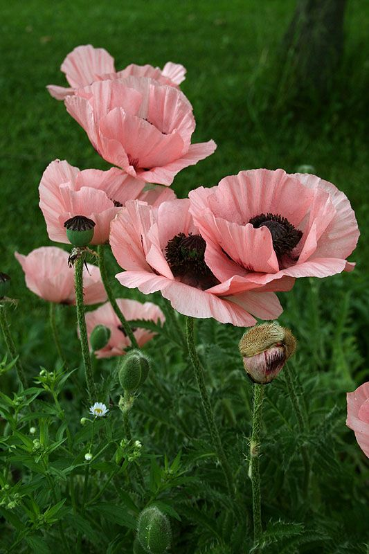 Pink poppies were added to the path that leads to our backyard...: