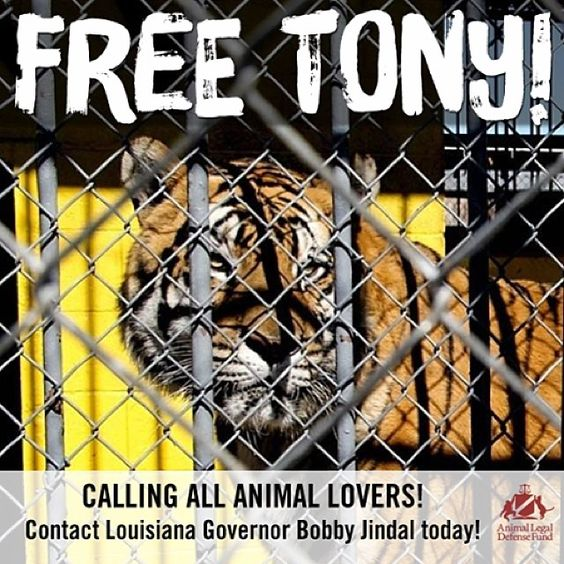 Check out @ALDF's action alert for me & tell Gov. Jindal to #VetoSB250!! http://aldf.org/cases-campaigns/action-alerts/protect-tigers-from-inhumane-captivity/