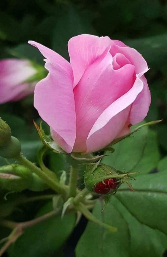 Wymagania glebowe dla róż