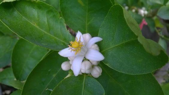 มะนาว (Citrus aurantiifolia)