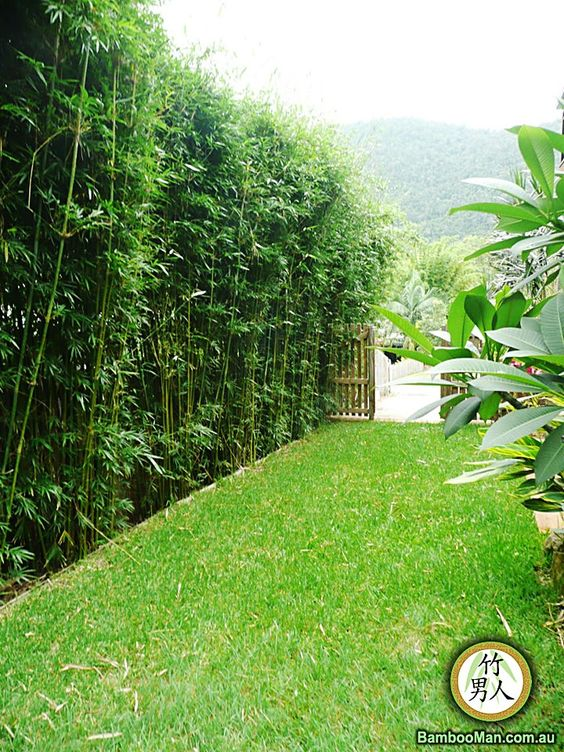 bamboo privacy hedge bamboo hedge landscape pinterest privacy hedge backyards and. Black Bedroom Furniture Sets. Home Design Ideas