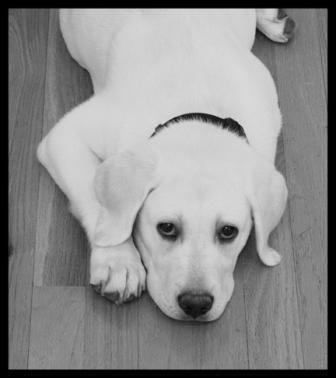 White Lab I Love Their Black Noses English Labrador