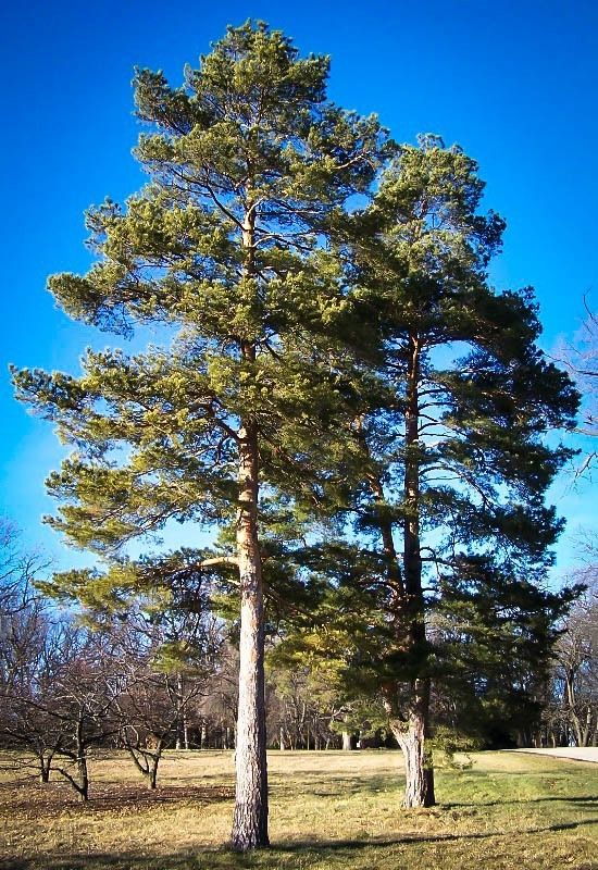 Scots Pine Landscape Trees Tree Conifer Trees