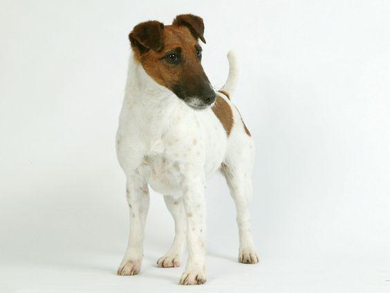 Fox Terrier País de origen: Gran Bretaña Nombre de origen: Otros nombres: Smooth Fox Terrier (Fox Terrier de pelo liso), Wire Fox Terrier (FoxTerrier de pelo duro) Tamaño: Mini Clasificación: GR. 3 Sección 1 (Terriers de talla grande y media)
