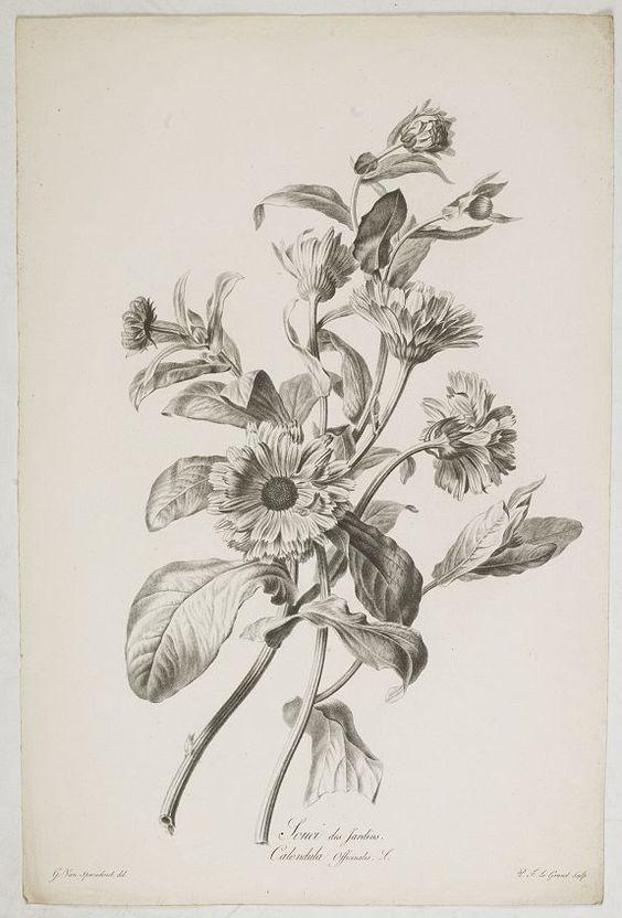 SPAENDONCK, Van. G. - Souci des Jardins. Calendula Officinalis. L., c 1800