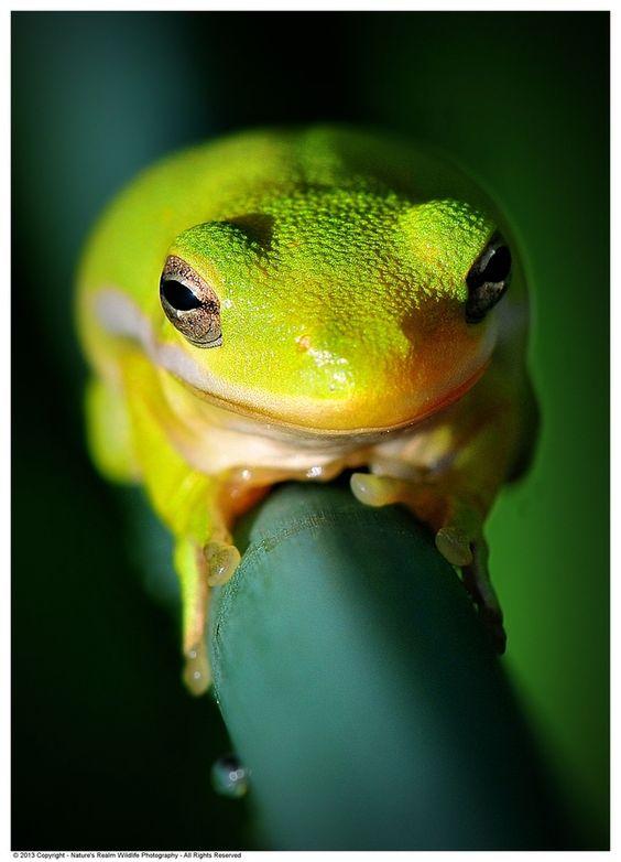 """American Green Tree Frog"" by Dennis Stewart, via 500px."