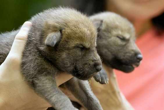red wolves wolf pup and wolves on pinterest. Black Bedroom Furniture Sets. Home Design Ideas