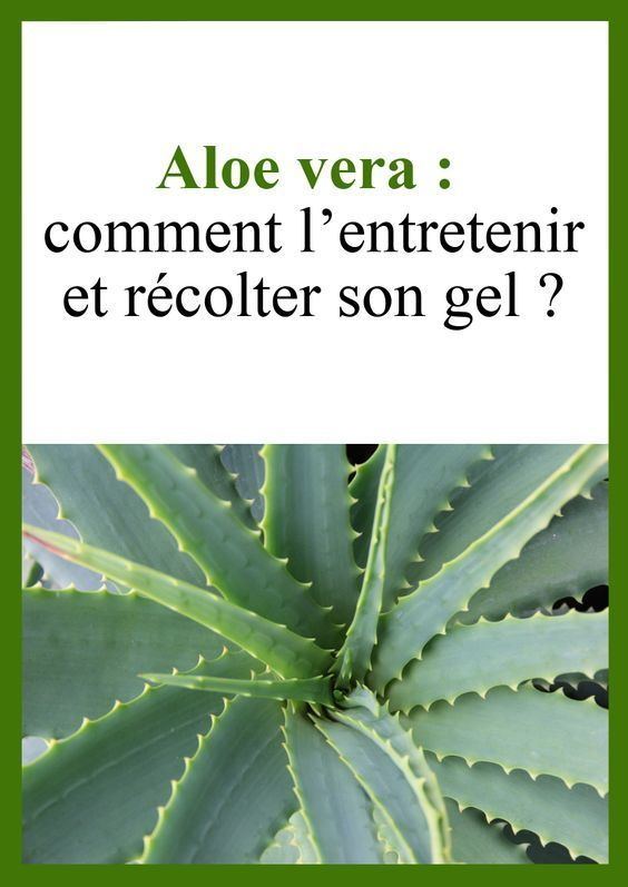 Aloe Vera How To Maintain It And Harvest Its Gel En 2020
