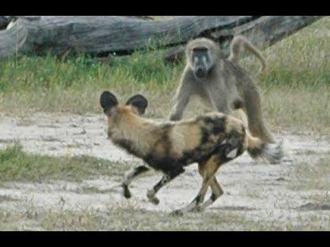 Wild Dogs Vs Baboon Real Fight Wild Dogs Baboon Lion Buffalo Rhino Elephant Hunting Battle Youtube Wild Dogs Baboon African Wild Dog