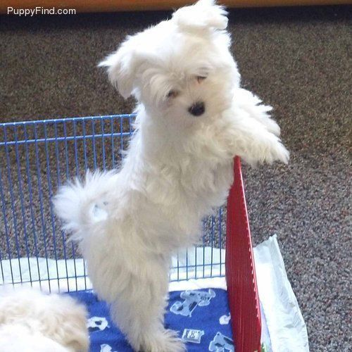 Maltese Puppy 8 Months Old Teacup Puppies Maltese Maltese