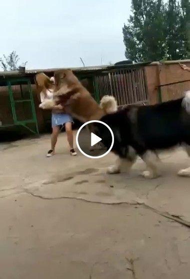 Mulher se desespera comum enorme cão
