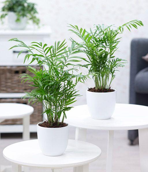 Zimmerpalmen Duo 1a Zimmerpflanzen Online Kaufen Baldur Garten Pflanzen Zimmerpflanzen Zimmerpflanze Palme