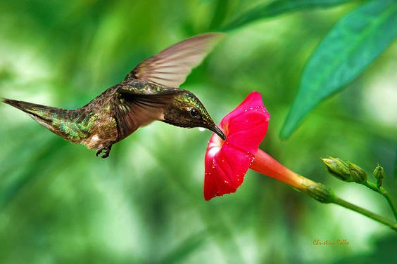 Sweet Satisfaction by Christina Rollo. Beautiful male Ruby-Throated Hummingbird (Archilochus colubris), in flight with wings frozen feeding on bright red creeping cardinal flower against fresh green foliage. None