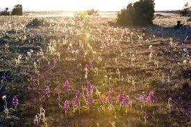 la flora es muy abundante y variada.Los suelos rocosos calcáreos y las condiciones climaticas de las islas Oland y Gotland favorecen por ejemplo el crecimiento de las orquideas(más de 35 variedades)