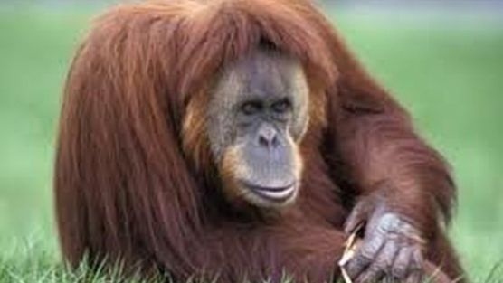 """SAG, Bioparc Fuengirola, Buin Zoo: Rejecting the """"trafficking"""" of great apes from zoos"""