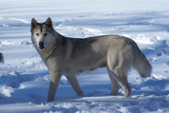Siberian Husky /Timberwolf Hybrid | Wolves Lobos ...