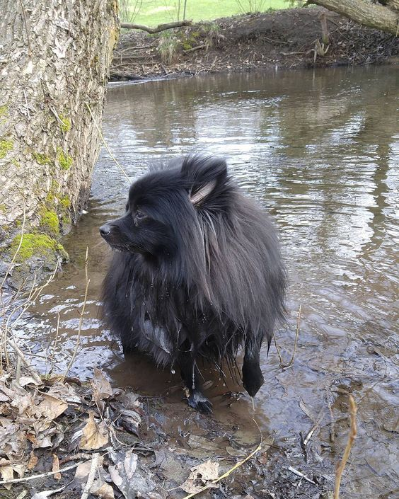 Adventuring    Please follow my lovely pawtner: @boxer.paws  Wanna be pawtners? Comment below!  #koda #pomsofinstagram #puppiesofinstagram #dogstagram #petstagram #instadog #instapuppy #instapet #pomeranian #puppy #dog #pet #happy #love #spring #sunshine #park #swimming #creek #thedailypompom #lacyandpaws #pomeranianloverpost #pomeranianworld #igpoms #dogsandpals #pomeraniandogs by master.koda