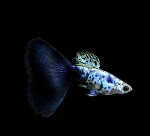 Galaxy Blue Tail Pair 1 Male 1 Female Rare Guppies 14 50 Standard Shipping Guppy Fish Fresh Water Fish Tank Fish Tank