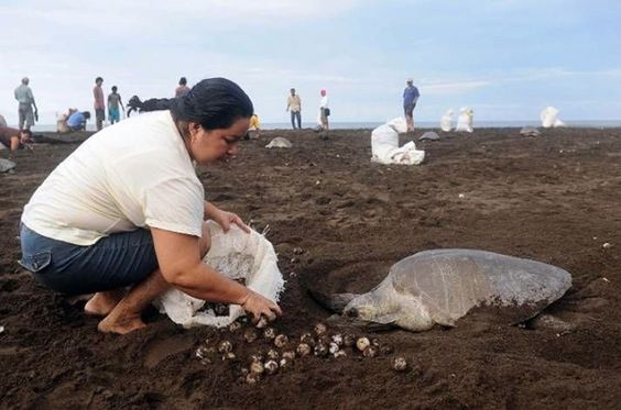 This is what the Sea Turtles fae when they lay their eggs on the Costa Rican beaches. Just plain ignorance.