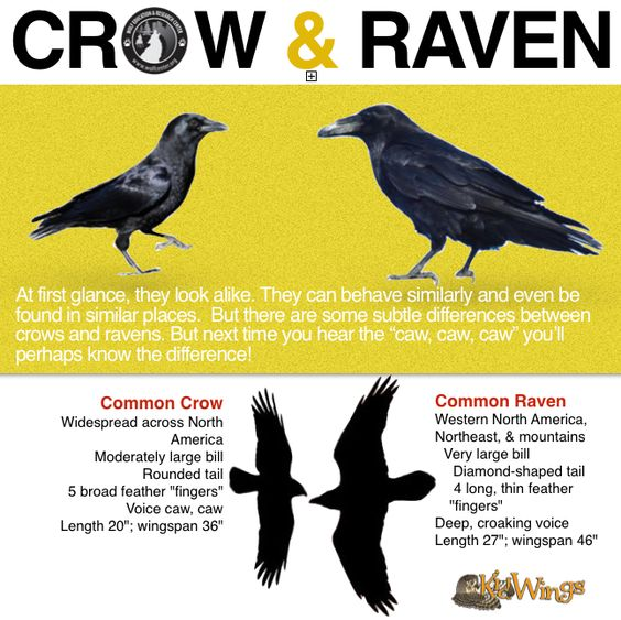 Crow or Raven? The crow's tail feathers are basically the same length, so when the bird spreads its tail, it opens like a fan. Ravens, however, have longer middle feathers in their tails, so their tail appears wedge-shaped when open. Listen closely to the birds' calls. Crows give a cawing sound.