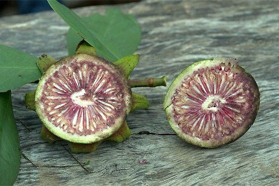 Sonneratia alba Non mature fruit - © Pierre GRARD - IFP