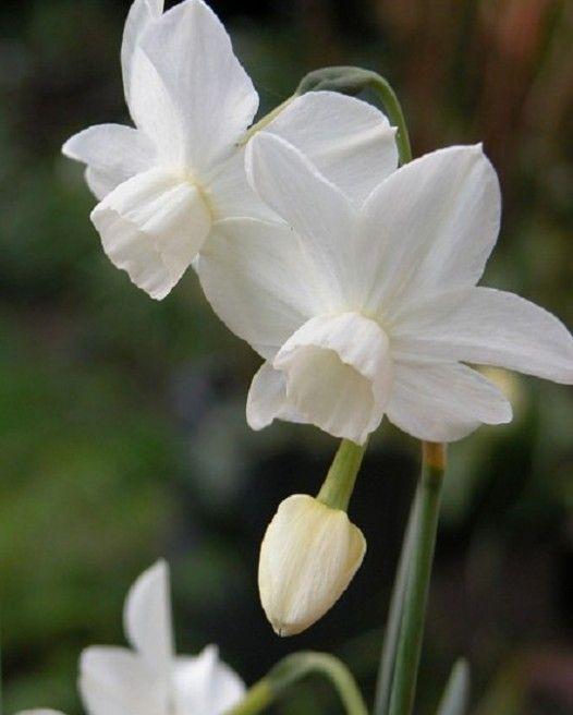 Narcisse Triandrus - Jonquilles et Narcisses - Floraison Printanière - EXPLOREZ NOTRE MAGASIN