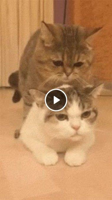 Casal de gatos fazendo amor