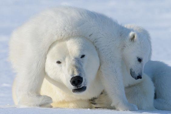 bearmuffs