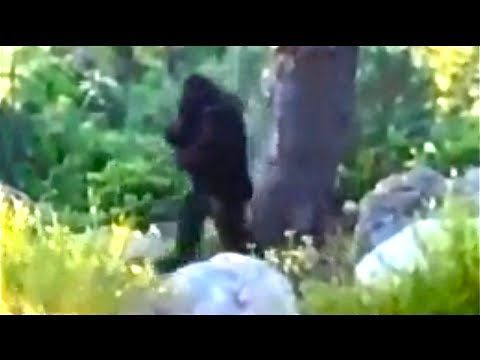 Big Foot Sighting Hd Youtube Real Bigfoot Bigfoot Sightings Monster Legends