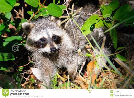 Curious raccoon came out of the mangrove forest in Everglades National Park, Florida. Description from dreamstime.com. I searched for this on bing.com/images