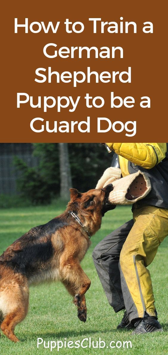 How To Train A German Shepherd Puppy To Be A Guard Dog German Shepherd Puppies Training German Shepherd Puppies German Shepherd Dogs