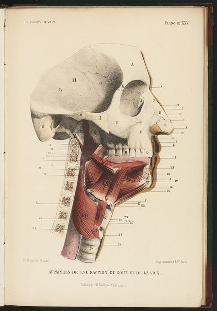 Le corps humain. Planche XXV. Appareils du goût et de la voix.