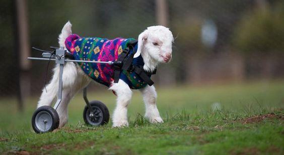 FOTO: Neodoljivo jare Frostie i njegovi prvi koraci uz pomoć kolica