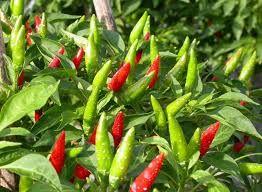 Sử dụng ớt đúng cách mang lại sức khỏe tốt