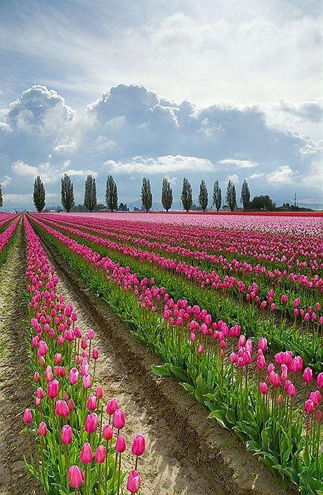 光さす雲とチューリップが綺麗で美しい花畑