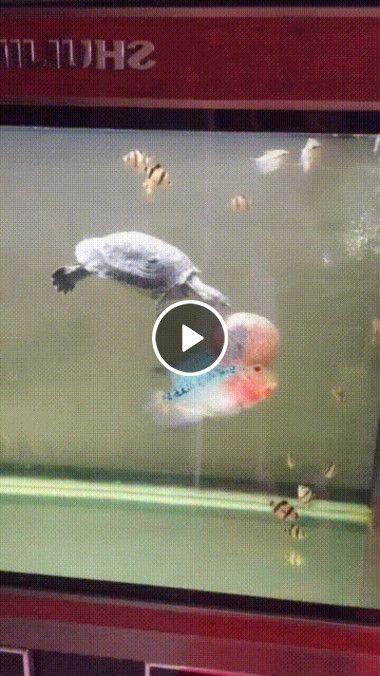 Tartaruga persegue peixe exótico.