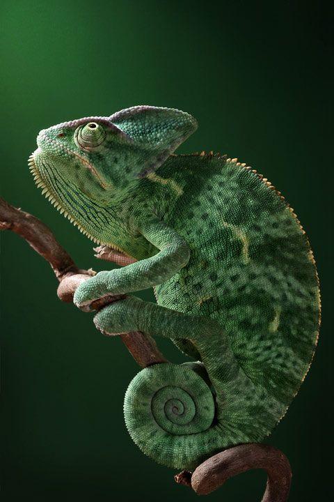 veiled chameleon thinking about God  Picture: IGOR SIWANOWICZ