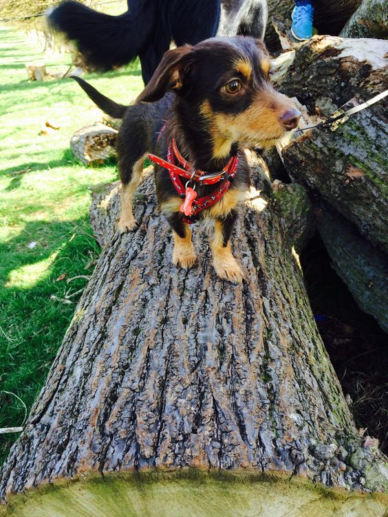 Sweet little dog playing outside on a log
